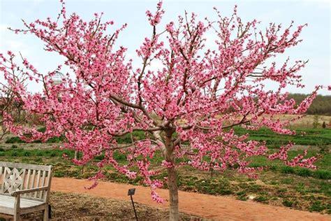 fiore pesco alberi da fiore alberi alberi con fioritura