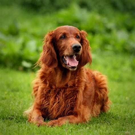 setter dog traits irish setter history personality appearance health and
