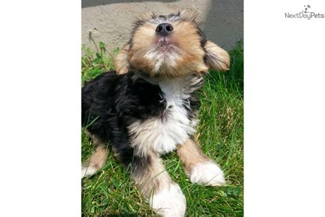 yorkies for sale in rochester ny yorkiepoo yorkie poo puppy for sale near rochester new york 92ccdb86 1f81