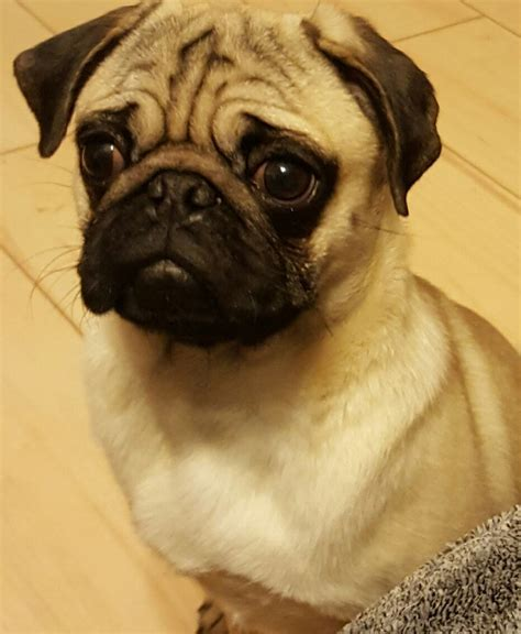 pugs for sale warrington beautiful 4 month pugs for sale warrington cheshire pets4homes