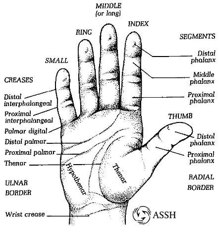 finger diagram reference part 1 surface anatomy dr jonathan
