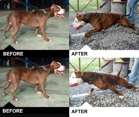 before and after getting your puppy bulk up your pit bull boost their health with bully max get guaranteed