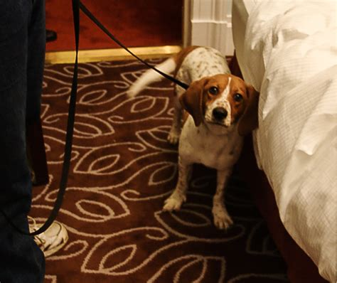 Bed Bug Detection Dogs Near Me