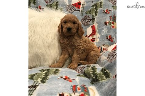 goldendoodle puppy for sale chicago goldendoodle puppy for sale near chicago illinois