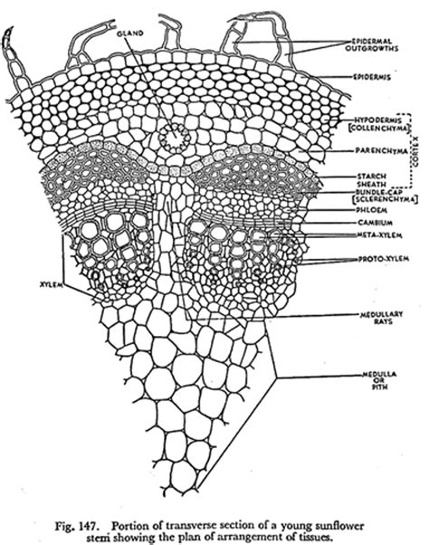 dicot stem section structure of dicot stem botany