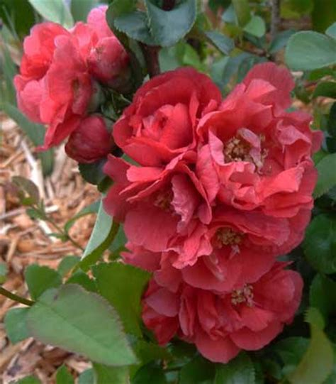 early pink flowering shrubs everyday gardeners