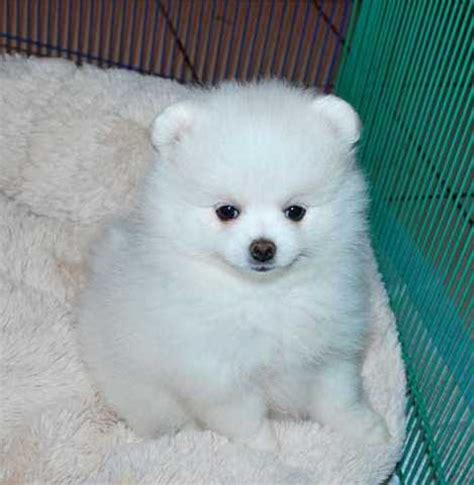 pomeranian puppies ontario pomeranian puppies for sale in ontario canada breeds picture
