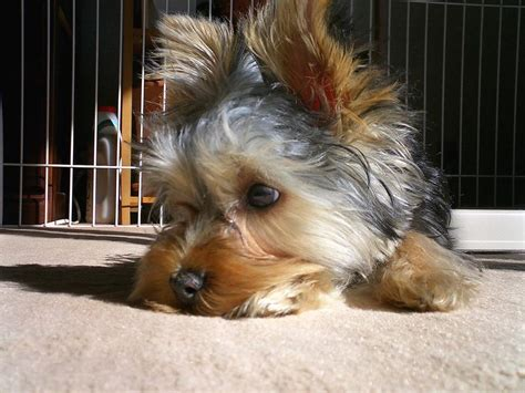 looking for a yorkie puppy sad looking yorkie puppy jpg 1 comment hi res 720p hd
