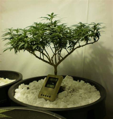 bonsai selber ziehen bonsai bonsai selber ziehen einzigartig on f 252 r cannabis