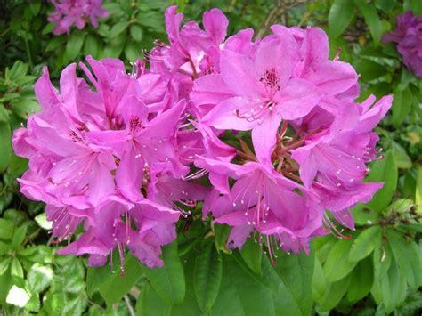 rhododendron washington state flower washington oregon