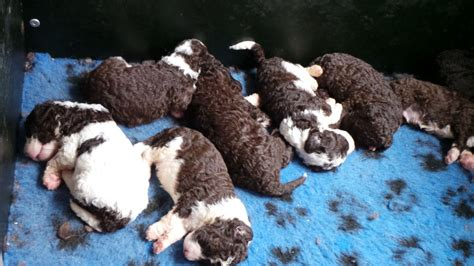 water puppies water puppies grimsby lincolnshire pets4homes