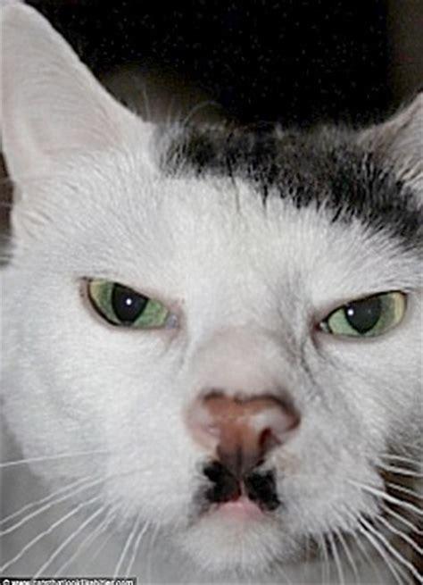 hitler cats evil stare  latest feline fuhrer lookalike