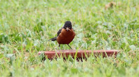 gardening for wildlife bluebirds robin