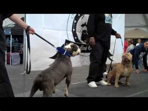 pitbull show a b b a bully show smokie at the bully pitbull show with bluelinefamily dal mar