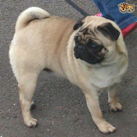 pugs for sale derby kennel club registered fawn pug for sale derby derbyshire pets4homes