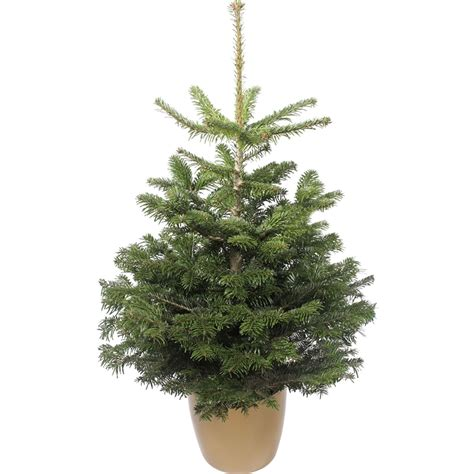 homebase real christmas trees for sale best 28 homebase real trees living nordman fir real tree 100 120cm at