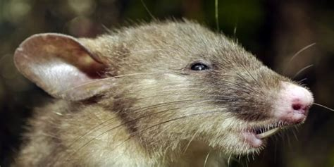 voyeur womens extra long pubic hair hog nosed shrew rat discovered by australian scientists