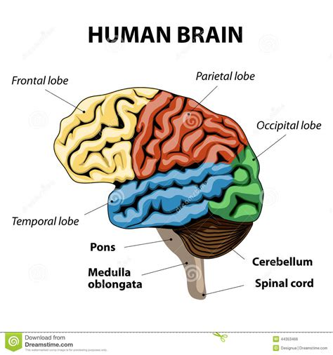 brain sections labeled human brain anatomy stock vector illustration of diagram