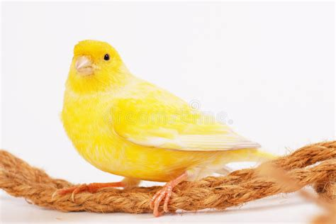 rhinelander canaries stock photo royalty canary royalty free stock images image 7291879