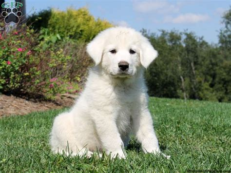 greenfield puppies for sale great pyrenees puppies for sale greenfield puppies