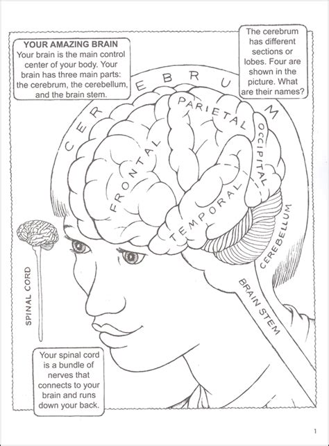 anatomy of the brain coloring book my book about the brain coloring book 031734