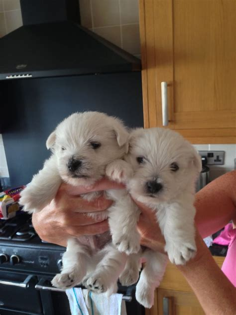 westie puppies for sale gorgeous westie puppies for sale polegate east sussex pets4homes