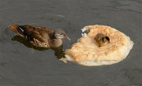 ducks ditching bread for healthier diet after public