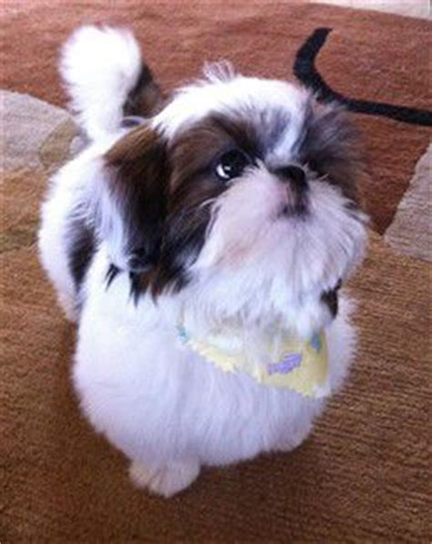 brown nose shih tzu solid brown and solid black shih tzu dogs