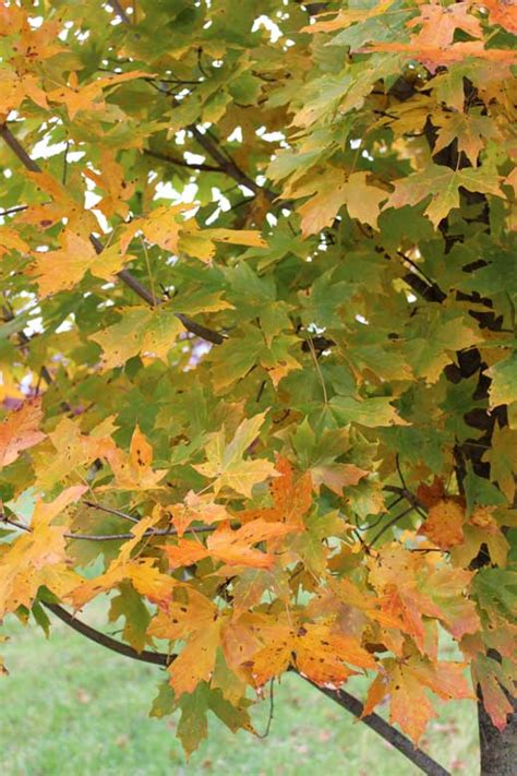 maple tree virginia fall is the best time for planting shade tree farm northern virginia shade tree farm