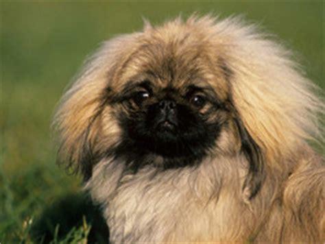 Pékinois : chien et chiot. Pekingese, Epagneul pékinois ...
