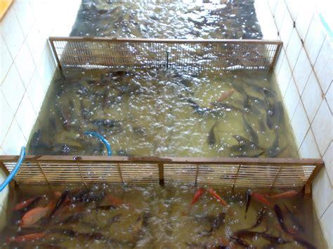 Ikan Nila Kecil ikan air tawar pt empang kuring