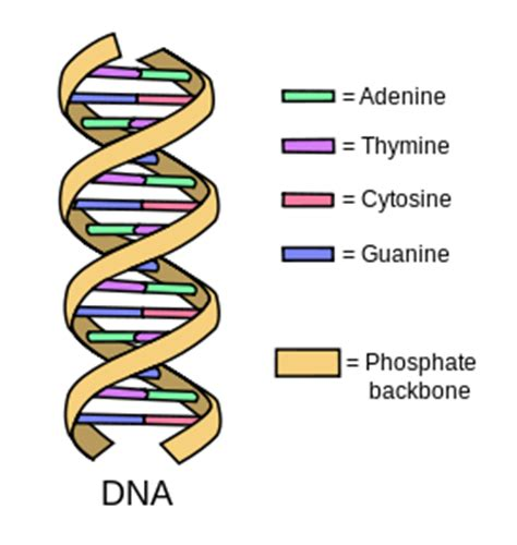 dna pattern name nitrogenous base definition pairs video lesson