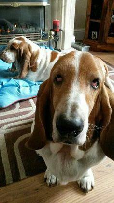 bed hog bulldogs bassett hounds very silly on pinterest bassett hound english bulldogs
