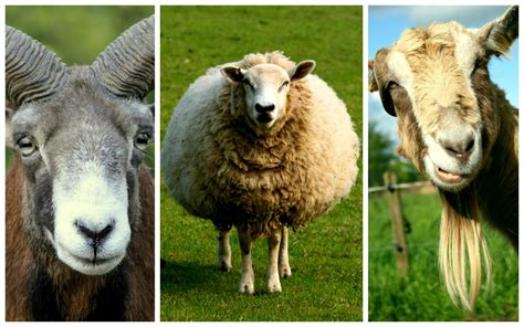 new year goat ram sheep 8 tips to win new year the mash up americans