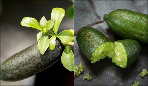 grow finger lime trees  pots  matter
