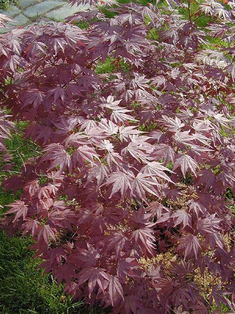 growth pattern of japanese maple acer palmatum moonfire hess landscape nursery