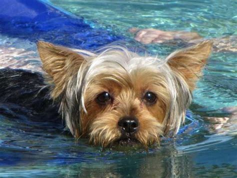 yorkies inc taunton top 25 best yorkie dogs ideas on teacup yorkie yorkie dogs for sale and