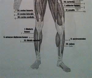 exercise 14 gross anatomy of the muscular system