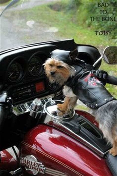yorkie on motorcycle biker pets on sidecar motorcycles and chihuahuas