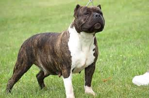 Names for brindle colored dogs dog breeds picture