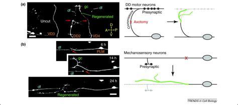 tcb study section axon regeneration mechanisms insights from c elegans