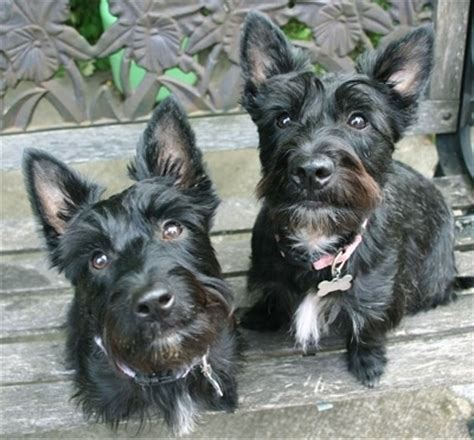 black west highland terrier puppies for sale scoland terrier dog breed information and pictures