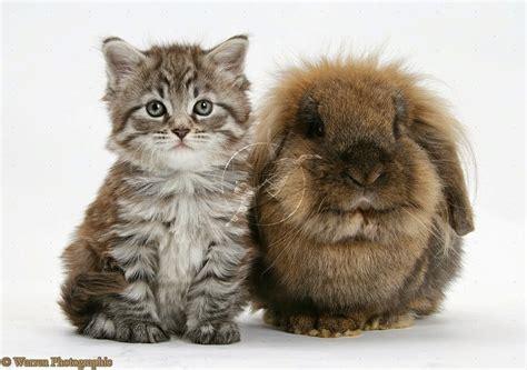 So Untuk Kucing Anggora 150 gambar kucing lucu dan imut anggora maine