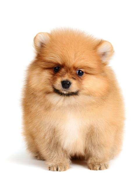 different types of pomeranian dogs different pomeranian breeds pomeranian6 jpg pomeranian breeds