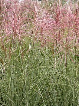 Morning Light Maiden Grass by Miscanthus Sinensis Morning Light Morning Light Maiden