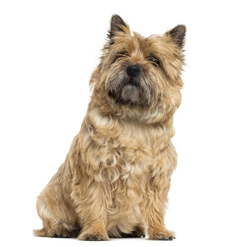 different grooming cuts for carin terriors grooming a cairn terrier