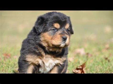 60 seconds of cute tibetan mastiff puppies! youtube
