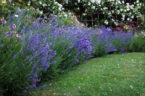 landscaping with lavender | 7 garden design ideas