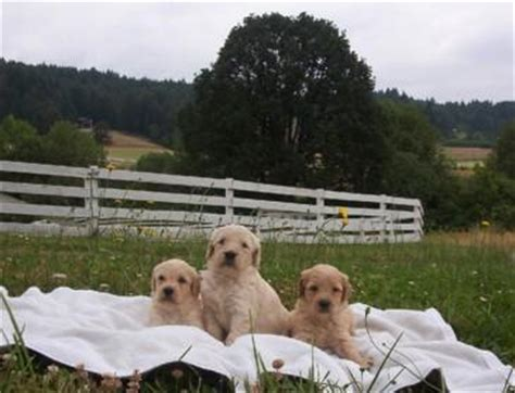 goldendoodle puppy ranch puppies now available