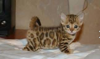 bengal cats are hypoallergenic shed less than regular